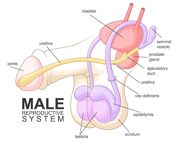 Male reproductive system cartoon
