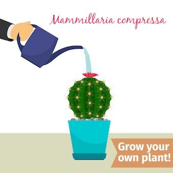 Ручной полив растений mamillaria compressa