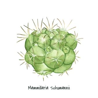 手描きのmammillaria schumanniiピンクッションサボテン