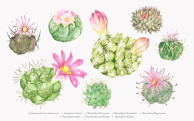 手描きのmammillariaサボテンコレクション