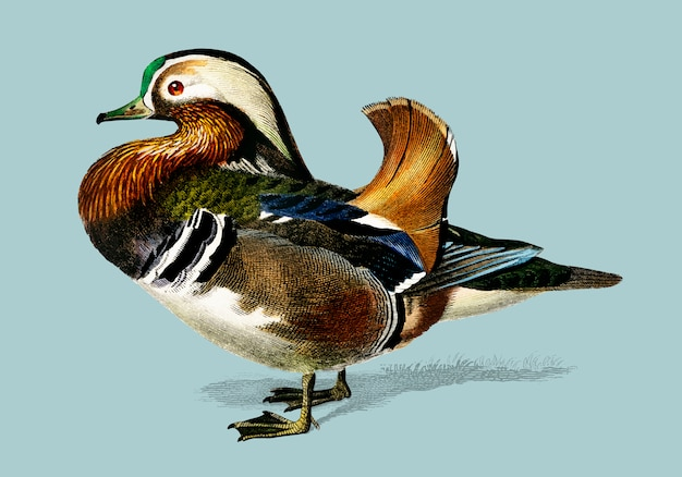 Mandarin duck (aix galericulata) illustrated by charles dessalines d'orbigny (1806-1876).