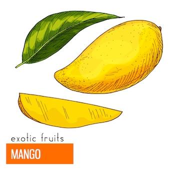 Mango. color vector illustration.