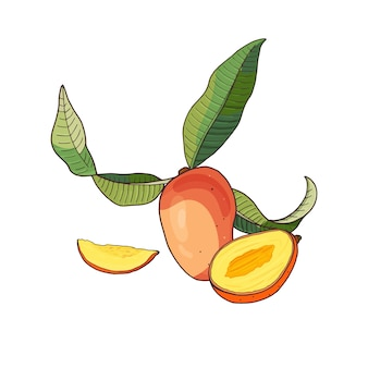 Mango.tropical fruit with slices and green leaves on white