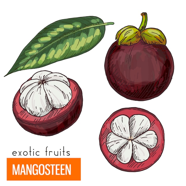 Mangosteen . color vector illustration.