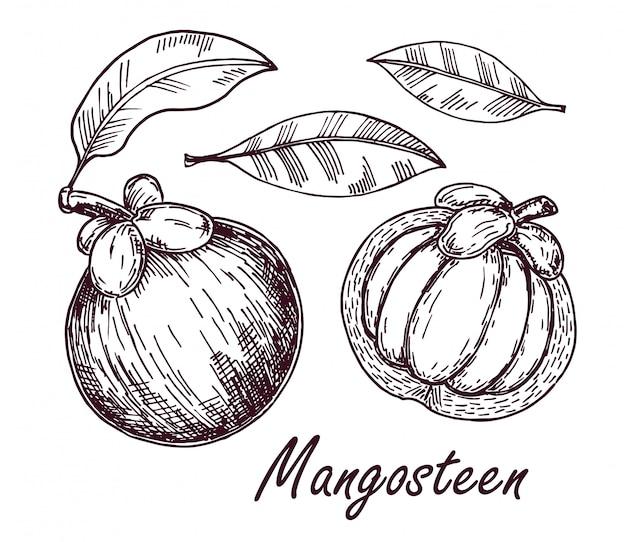 マンゴスチンの果実と葉を描きます。手描きのトロピカルフルーツのイラスト。刻まれた夏の果物。葉で全体とスライスされたオブジェクト。植物のヴィンテージのスケッチ。