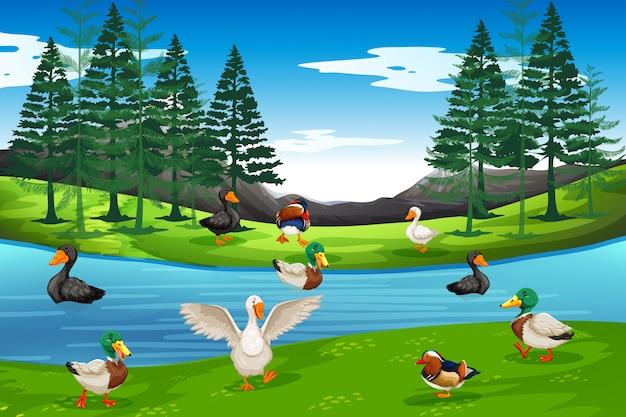 Многие утки у пруда