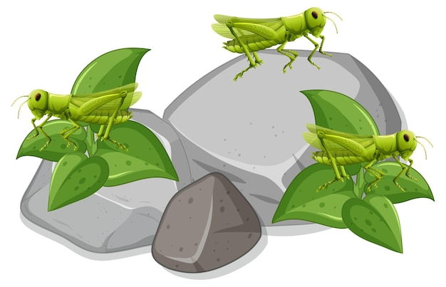 Molti grasshopers su pietre su sfondo bianco