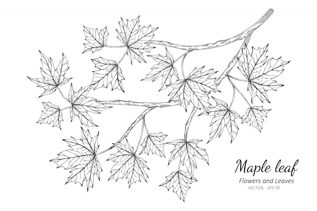 Maple leaf drawing illustration with line art on white backgrounds.