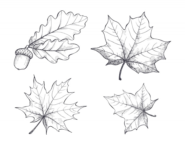Maple leaves monochrome sketches isolated