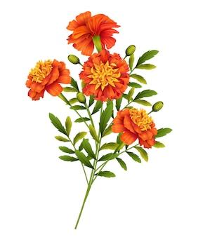 Marigold flowers isolated on white background.  illustration