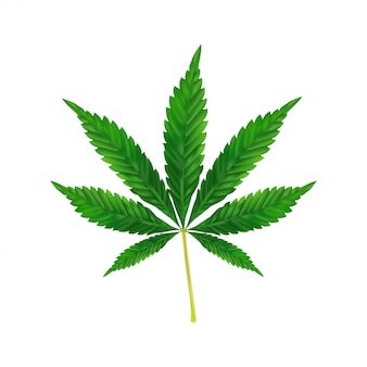 Marijuana or cannabis leaf background. realistic illustration of the plant isolated on white.