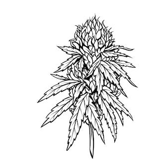 Зрелое растение марихуаны с листьями и бутонами.