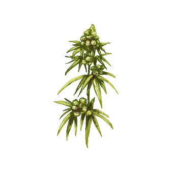 Marijuana mature plant with leaves and buds. vintage vector hatching color hand drawn illustration isolated on white background for cannabis shop