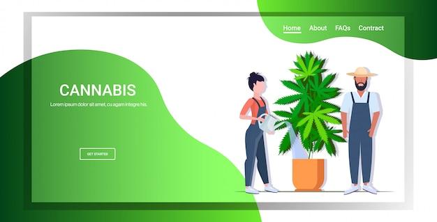 냄비 약물 소비 개념에서 마리화나 식물