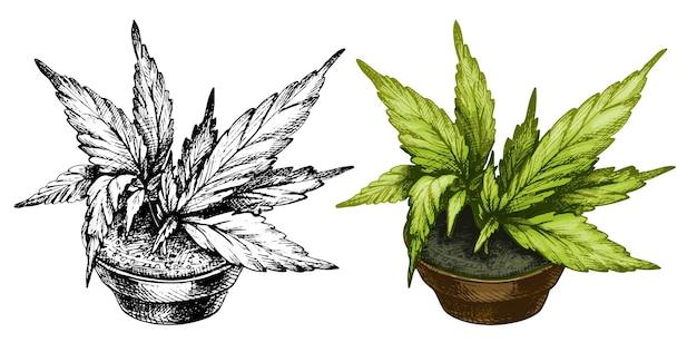 세라믹 냄비에 잎이 있는 마리화나 식물. 벡터 색상 빈티지 해칭 그림 흰색 배경에 고립. 대마초 상점이 있는 레이블, 포스터, 웹용