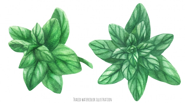 Marjoram green branches. botanical watercolor traced illustration