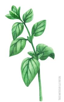 Marjoram green stem branch. botanical watercolor traced illustration