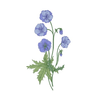 牧草地のゼラニウムまたはクレーンの請求書の花が分離されました