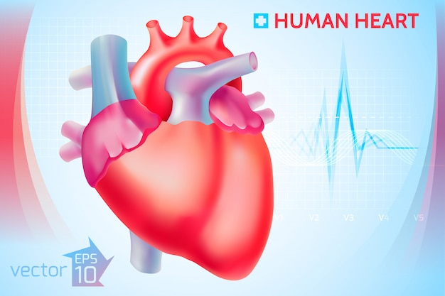Modello cardio anatomico medico con cuore umano colorato su azzurro
