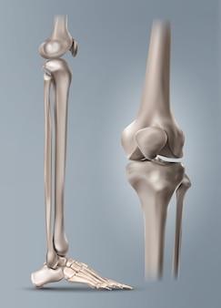 인간의 다리 또는 정강이와 무릎 관절이있는 발 뼈의 의료 그림. 배경에 고립