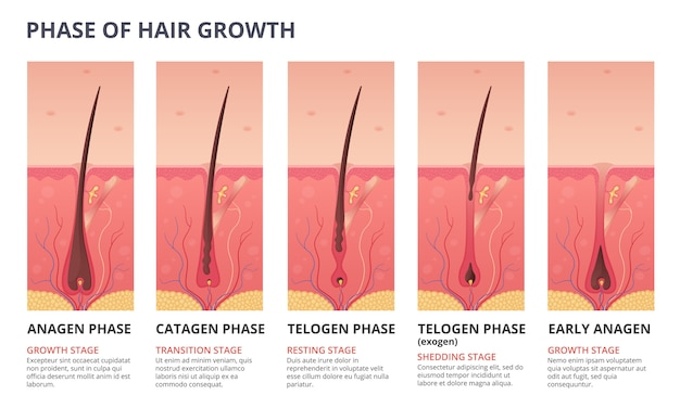 Medical infographic of hair growth cycle