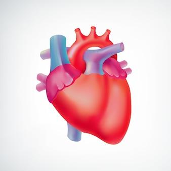 分離された白のカラフルな人間の心臓と医療ライトオルガンの解剖学的概念