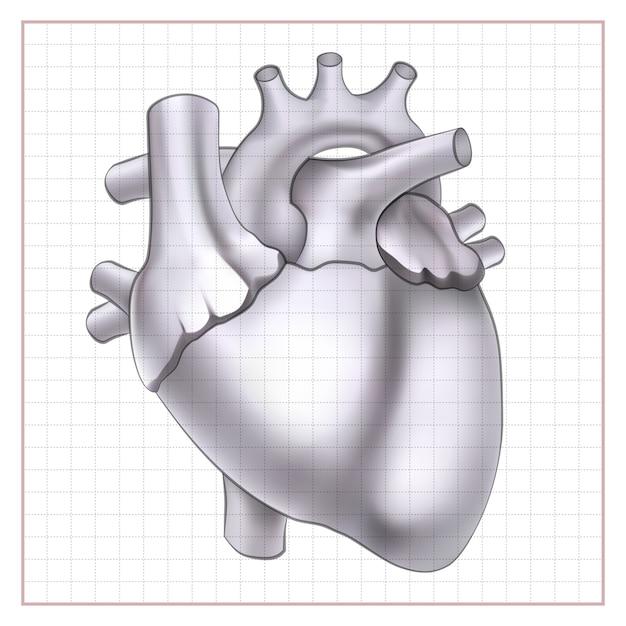 Medical organ sketch