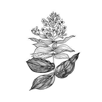 メディニラ顕花植物熱帯またはエキゾチックな葉と葉ヴィンテージシダ刻まれた花手