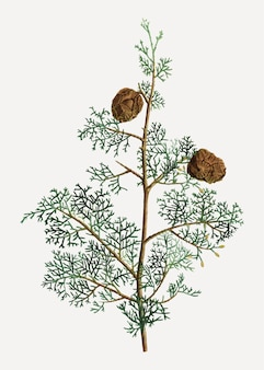 Mediterranean cypress plant