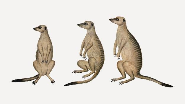 ミーアキャットは、ロバートジェイコブゴードンのアートワークからリミックスされたアンティークの水彩動物のイラストをベクトルします