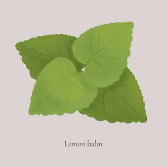 Melissa, lemon balm medicinal essential plant on gray