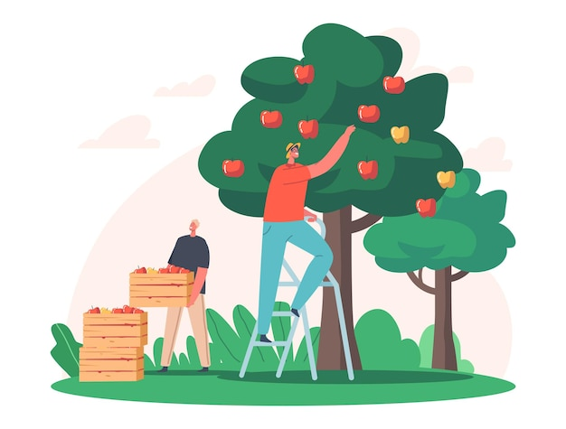 남자 농부는 나무 상자에 사과를 선택합니다. 시골 정원에서 푸른 나무에서 익은 과일을 수확하는 남성 정원사 캐릭터