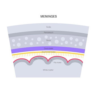 Meninges anatomy. protecting of the central nervous system. human head vector illustration