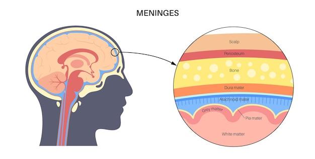 Анатомия мозговых оболочек. защита центральной нервной системы. человеческая голова векторные иллюстрации