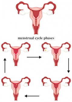 Menstrual cycle phases in human