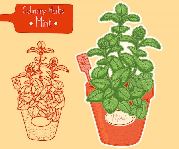 Mentha growing in a pot