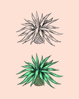 멕시코 푸른 용설란 식물.