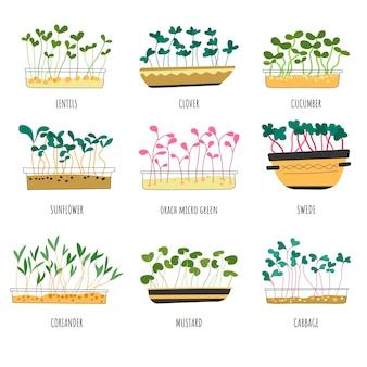 マイクログリーンタイプのレンズ豆とキャベツの芽