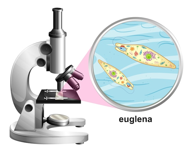 Microscopio con struttura anatomica di euglena su bianco