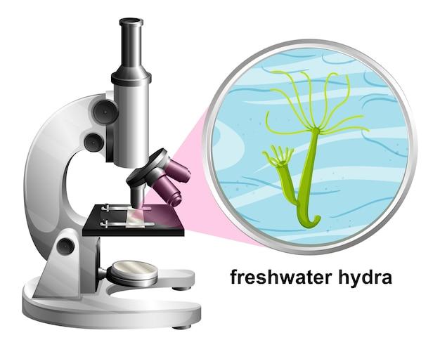 Microscopio con struttura anatomica dell'idra d'acqua dolce su priorità bassa bianca