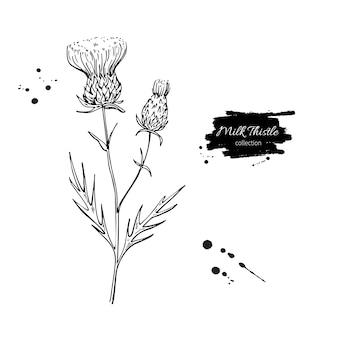 Milk thistle flower vector drawing