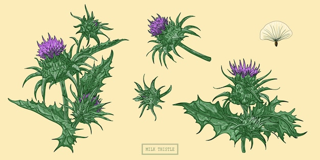 우유 엉겅퀴 허브, 손으로 그린 식물 그림.