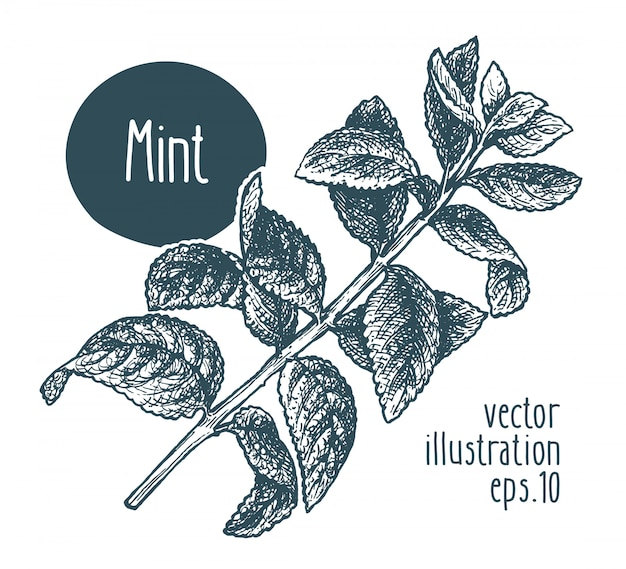 Mint branch. vector illustration hand drawn.