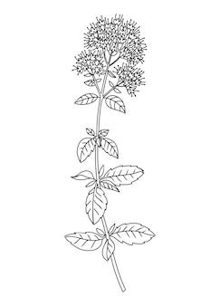 Mint flower and leaves line art illustration