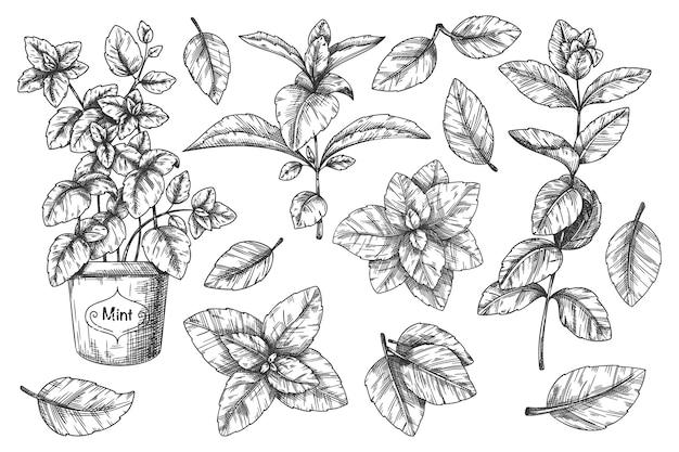 ミントの手スケッチ。手描きのメントールの葉と茎、鉢植えの植物のレトロなスタイルのインクスケッチ。ペパーミントの刻まれた図面。葉ハーブスペアミントのイラスト。ミントクッキングスパイシーな食材セット