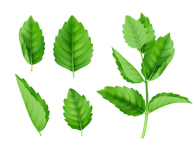Mint leaves. menthol spearmint fresh smell nature product vector realistic template