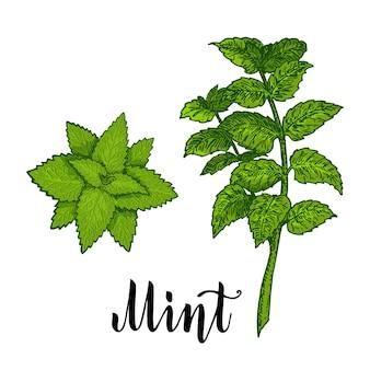 민트 잎 민트 공장 식물 드로잉 흰색 배경에 고립 된 색 벡터