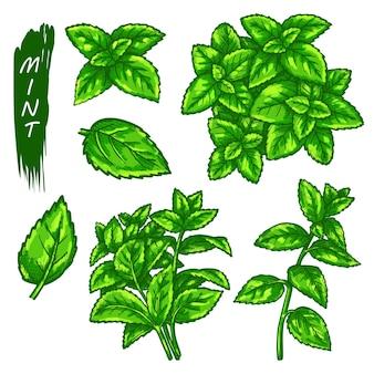 Элементы эскиза мяты или перечной мяты, ветви и листья. рисованной иконы травы, ментола или мяты.