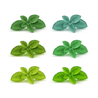 Mint spearmint peppermint leaf leaves set isolated on white