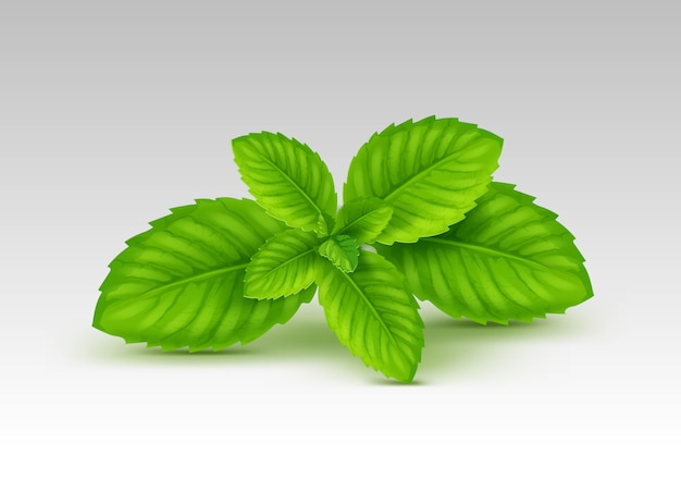 Mint spearmint peppermint leaf leaves set  on white background